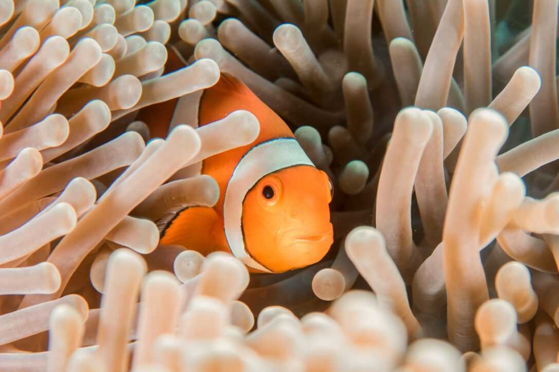 Photo of an orange and white clown fish inside an anemone